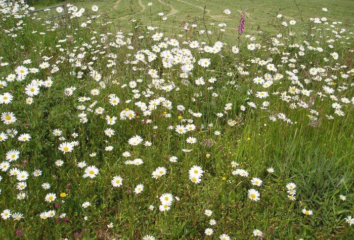 Oxeye daisies