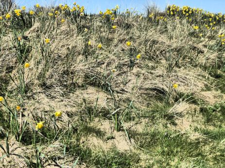 Daffodils in sand dunes